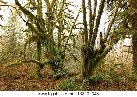 a picture of an exterior Pacific Northwest rainforest of an conifer and maple tree