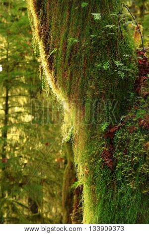 a picture of an exterior Pacific Northwest rainforest mossy  conifer tree