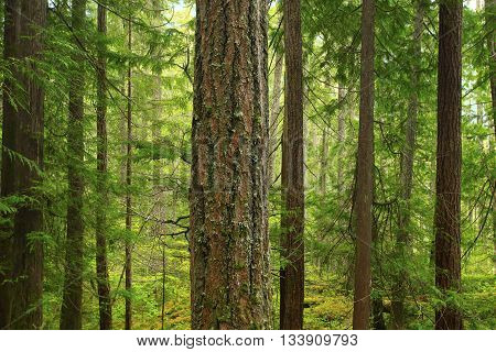 a picture of an exterior Pacific Northwest forest of conifers trees in spring
