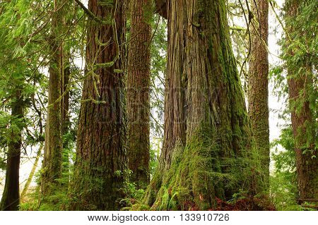 a picture of an exterior Pacific Northwest rainforest conifers