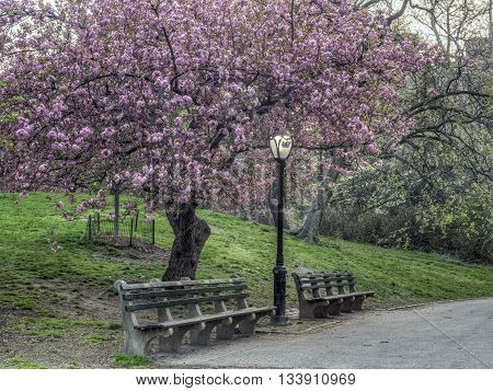 Prunus serrulata or Japanese Cherry; also called Hill Cherry Oriental Cherry or East Asian Cherry is a species of cherry native to Japan Korea and China and is used for its spring cherry blossom displays and festivals.
