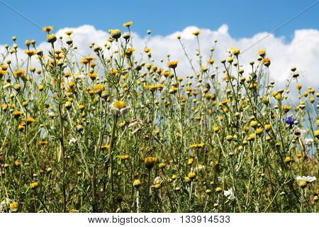meadow with wild field flowers especially camomile Matricaria chamomilla against a blue sky with clouds selected focus narrow depth of field