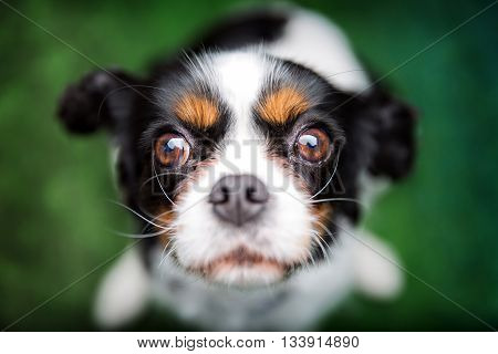 cute lovely cavalier spaniel the top view