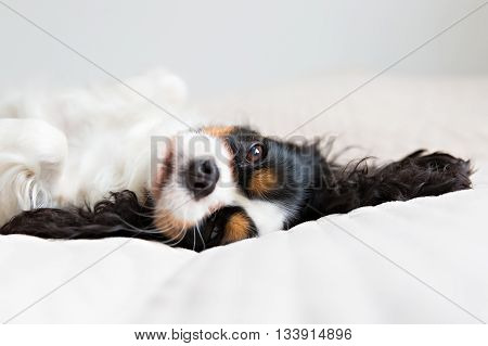 cute cavalier spaniel resting on the bed
