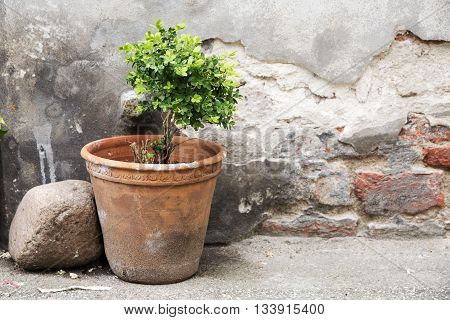 greening in the backyard earthenware pot with a small boxwood in front of an old brick wall with weathered plaster selective focus
