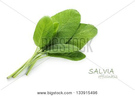 fresh green leaves of sage Salvia officinalis isolated with small shadow on a white background with sample text in the copy space closeup shot