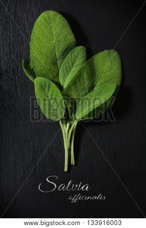 fresh green sage leaves on a dark slate plate sample text Salvia officinalis view from above vertical