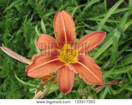 Orange lilium flower orange day lily .