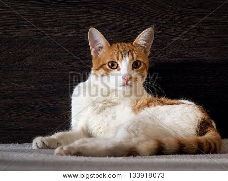 Portrait of a frightened or angry cat. Surprising, strange yellow eyes. The coat is white with red, pink tongue. Background dark wooden board.