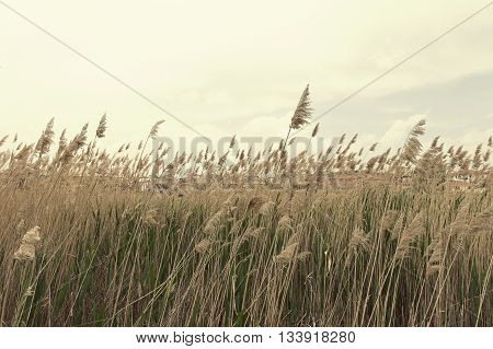 Beautiful reeds on a background of beautiful blue sky with white blocks. Retro style photo effect applied