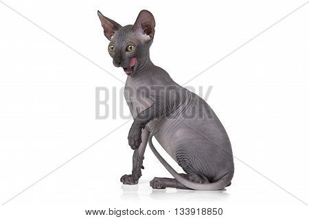 Studio shot of hairless Don Sphinx kitten (two months old) isolated on white background