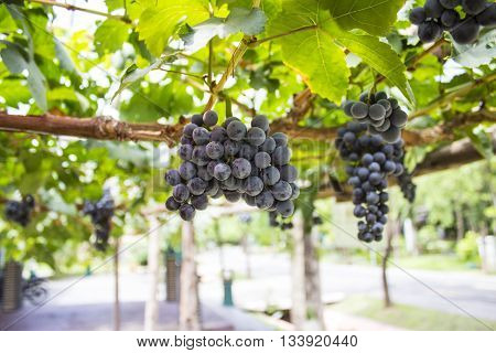 Grapes on the vine in the vineyard.