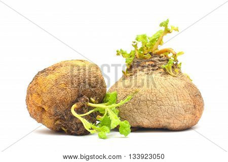 Organic food - two natural turnip. Crop storage