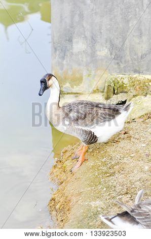 goose near the river  or vowel , goose