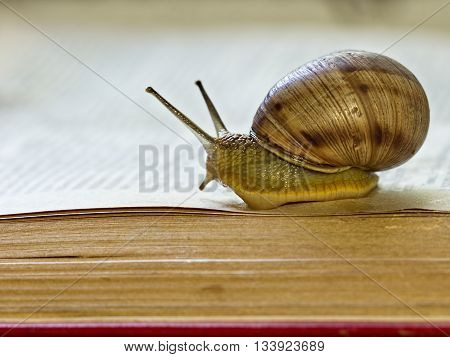 Big snail - Helix pomatia - slowly crawling on the open page of a book as if reading it. Close-up selective focus image