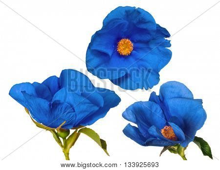beautiful blue brier flowers isolated on white background
