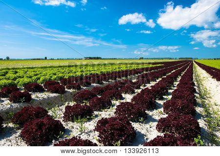 Spring Lettuce field in a sunny day