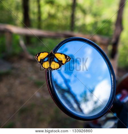 Yellow Pansy Butterfly on rear view mirror