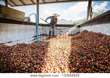Chiang Rai, Thailand - November 18, 2015: Man from Thailand works with equipment on  on a coffee factory at Doi Chang , Chiang Rai, Thailand.