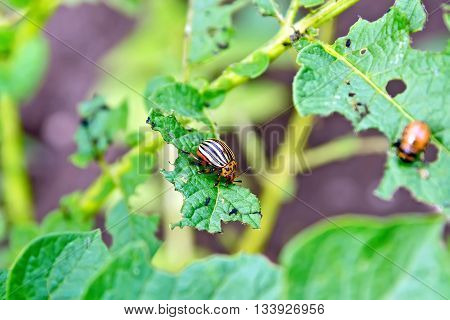 Orange larva and striped Colorado beetle on potato green leaves