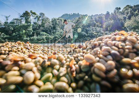 Chiang Rai, Thailand - November 18,2015: Man from Thailand drying coffee beans on  a coffee factory at Doi Chang , Chiang Rai, Thailand.