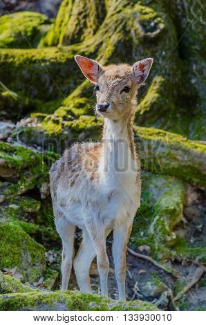 a young deer in a forest in the light of morning