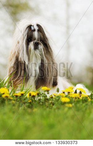 dog breed Shih Tzu sits in a meadow with dandelions