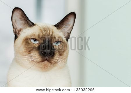Severe And Serious Thai Cat Looking Strictly. Wait For The Host. Haughty And Self-pet