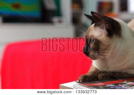 Thai cat sitting on  bedside table and stares to side.