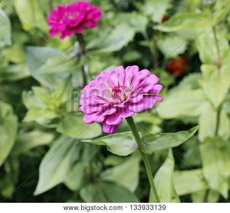 Bright beautiful pink zinnia flower in the garden in summer