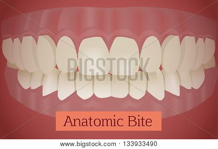 Anatomic bite concept. Medical educational image. Keep your teeth clean and healthy. Human gums with teeth close up. Orthodontic vector illustration.