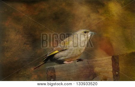 A Young Goldfinch sits on a fence waiting to be fed