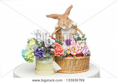 Adorable red domestic lop-eared rabbit holding basket with flowers isolated over white background. Copy space.