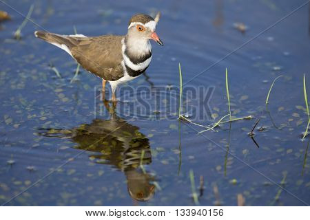 Three banded plover standing in shallow water with its reflection