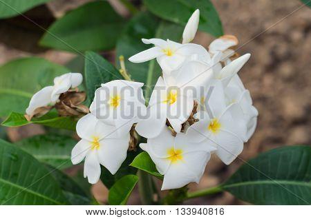 Plumeria flowers on the plumeria tree (Other names are frangipani Apocynaceae Nerium oleanderwhite plumeria Leelavadee Lunthom)