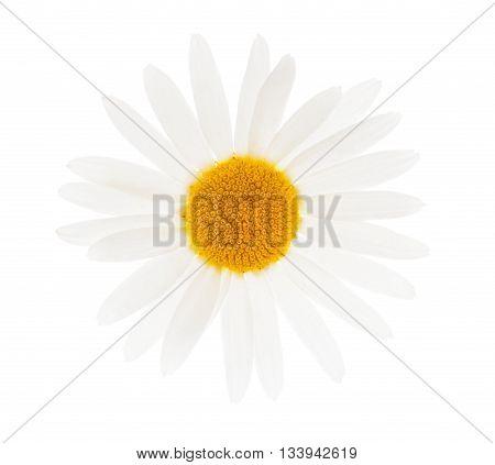 one white camomile isolated on white background