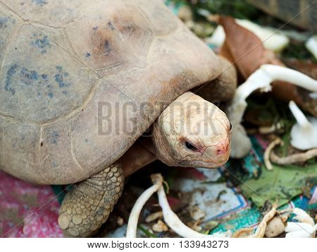 Closeup of giant tortoise or turtle in park.