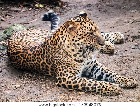 Jaguar Taking Rest