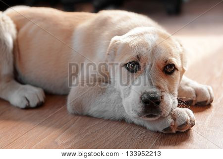 Central Asian Shepherd puppy lying on the floor