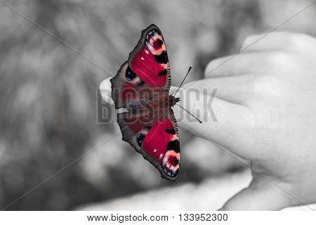 European peacock butterfly on the child fingers. Black and white with color