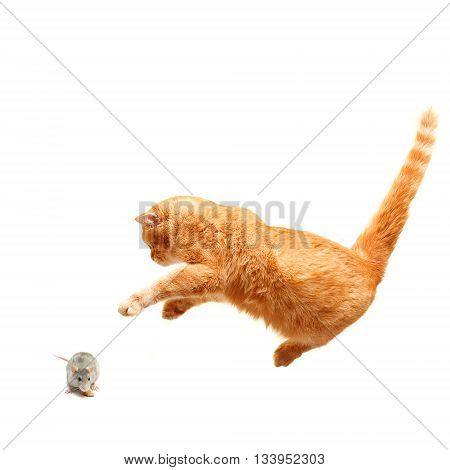 Playful cat hunts a mouse - isolated on white