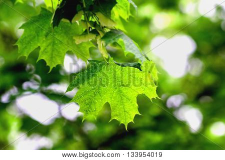 Green maple with rain drop in spring Maple leaf texture for background