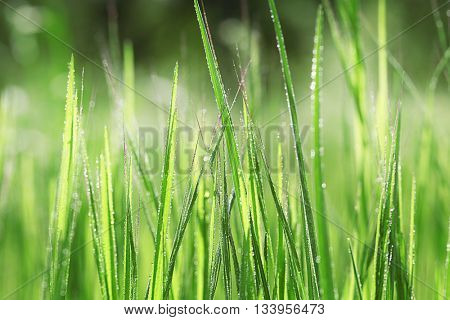 Variegated structures of grass