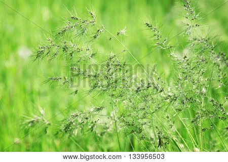 Variegated structures of flowering grass