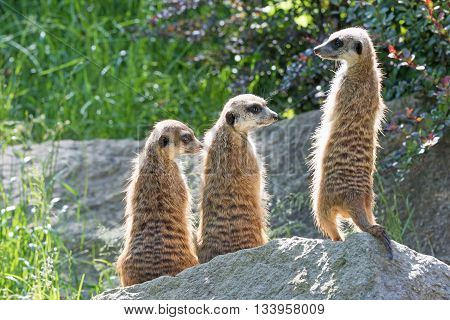 Trinity of Meerkats sitting on a rock in the upright position. The two are looking to the right and one on the left