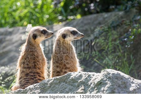Pair of Meerkats is sitting on a rock in the upright position and looking to the right.