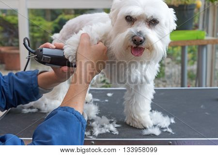 Grooming the forefeet of white Maltese dog by electric razor. Dog is standing on the grooming table.