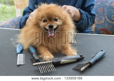 Pomeranian German Spitz dog is lying on the grooming table and is looking at the camera. Different types og the grooming combs are lying on the grooming table.