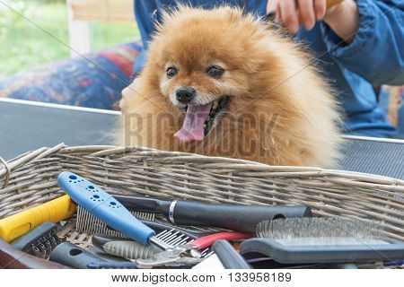 Pomeranian German Spitz dog is combed on the grooming table and is looking at the camera. Basket with grooming accessories and equipment is lying before him.
