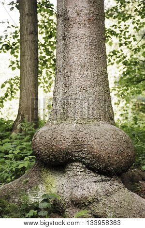Ancient perennial tree with a trunk similar to  erect penis. The whimsical nature has created an amazing tree trunk. Wonders of nature in Pavlovsk Park Saint-Petersburg. Funny tree in the Royal Park.
